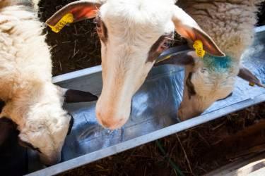 Πρόβατα και πρόσληψη νερού