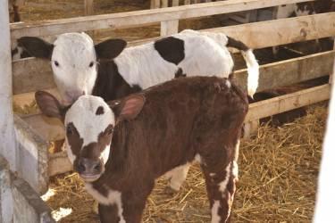 Μοσχαράκια, οι αγελάδες του αύριο
